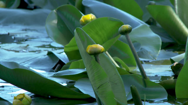 close up of yellow water lilies - johnfscott stock videos & royalty-free footage