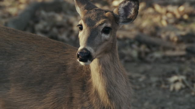 vídeos de stock e filmes b-roll de close up of young white tail deer, fawn, bambi, chewing and alert for danger. - mastigar