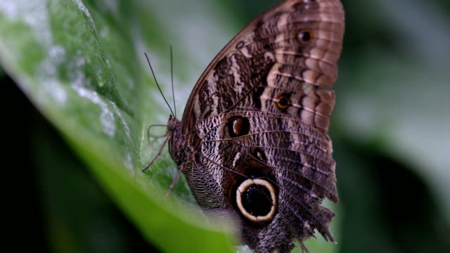 close up on a big butterfly - animal wing stock videos & royalty-free footage