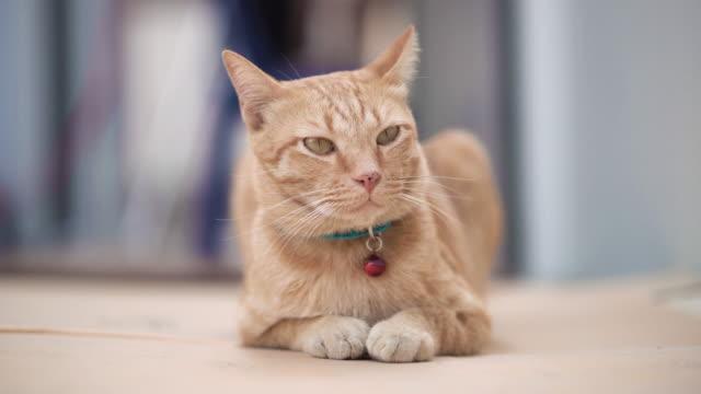 vidéos et rushes de fermez-vous vers le haut sur un chat se trouvant sur l'étage. - collier