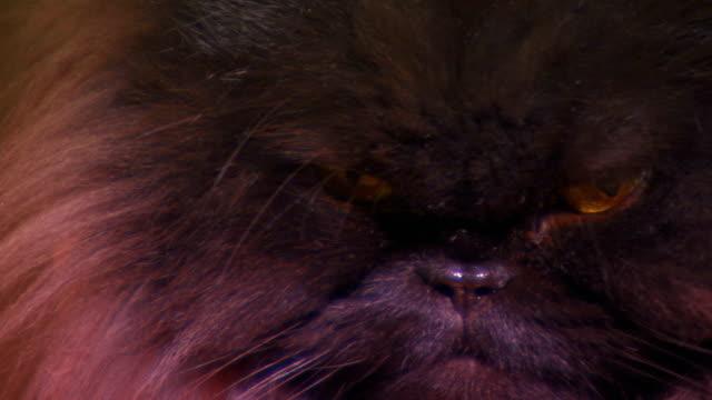 close up on a fluffy black cats face, persian cat - 黒猫点の映像素材/bロール