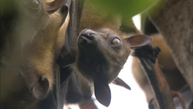 close up on a fruit bat's face hanging from a tree, kasanka national park, zambia, africa - animal nose stock videos & royalty-free footage