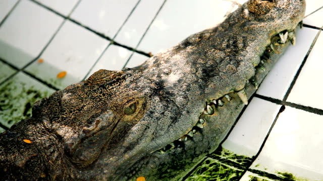 close up on eye crocodile. - parte del corpo animale video stock e b–roll