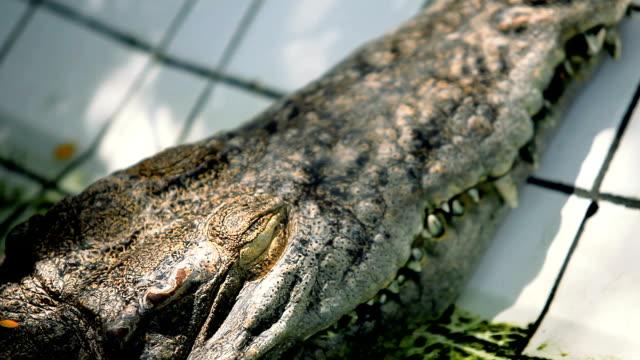 vidéos et rushes de gros plan sur le œil crocodile. - partie du corps d'un animal