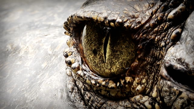 close up on eye crocodile. - reptile stock videos and b-roll footage