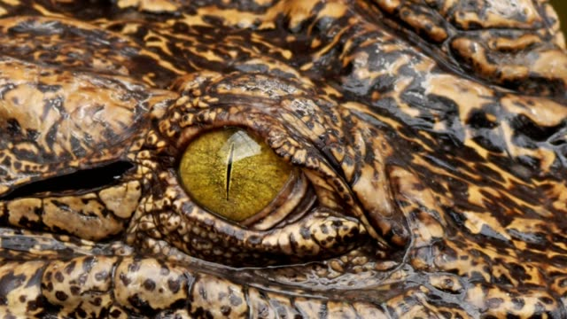 close up on eye crocodile. - reptile stock videos & royalty-free footage
