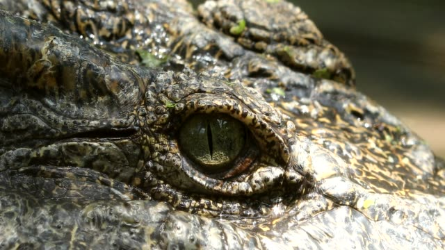 close up on eye freshwater crocodile in thailand - alligator stock videos & royalty-free footage