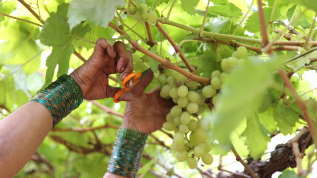 close up on female hands cutting a grape from a grape vine. - cut video transition stock videos & royalty-free footage