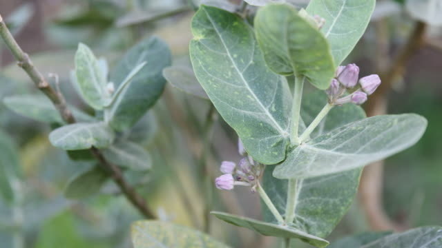 A close up on fresh leaves with small flower buds at a village in Nashik a region located in the northwestern part of the Maharashtra state in...