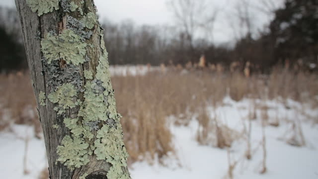 close up on lichen on a dead tree in foreground, snowy winter landscape background - 地衣類点の映像素材/bロール