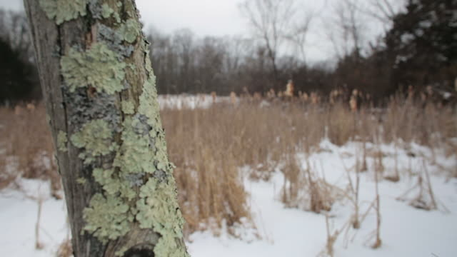 close up on lichen on a dead tree in foreground, then focus pull to snowy winter landscape background - 地衣類点の映像素材/bロール
