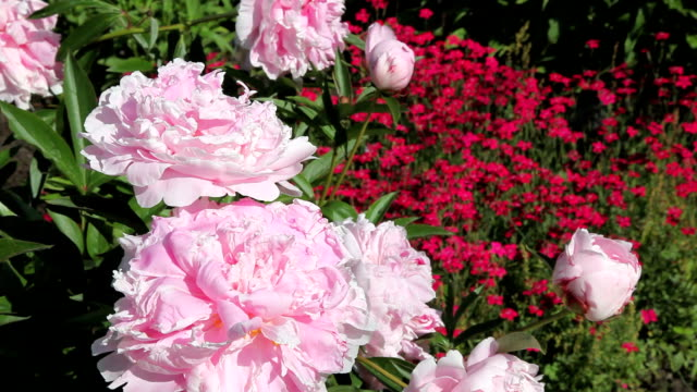 Close Up On Pink Peony Flowers In Summer