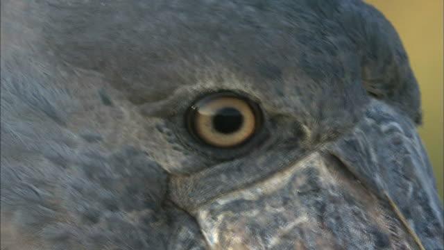 close up on shoebill's face, standing on bangweulu marsh, zambia, africa - rumpf stock-videos und b-roll-filmmaterial