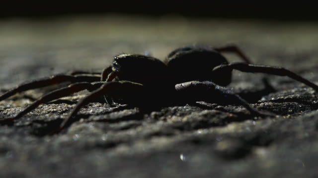 close up on spider in enclosure moving right - animal abdomen stock videos and b-roll footage