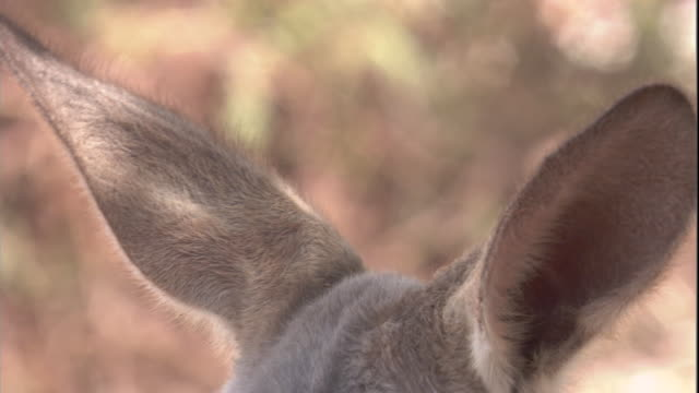 Close up on the ears of a red kangaroo, New South Wales. Available in HD.