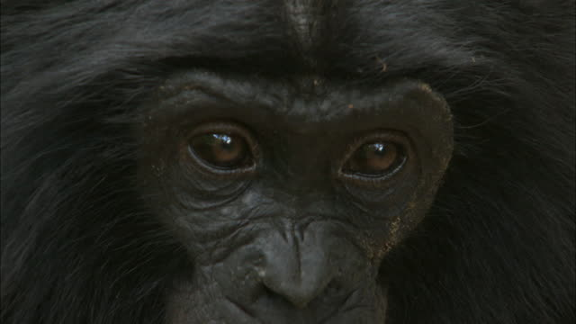 close up on the eyes of bonobo in tropical jungle, congo basin, africa - animal head stock videos & royalty-free footage