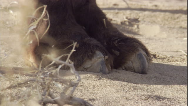 close up on the feet of a bactrian camel in the gobi desert. available in hd. - fußabdruck stock-videos und b-roll-filmmaterial