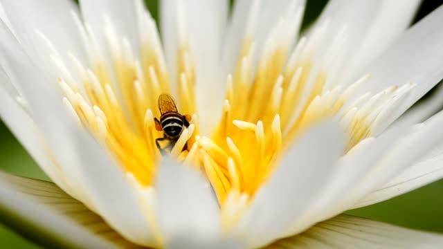 vídeos de stock, filmes e b-roll de detalhe: uma abelha no centro de lótus - abelha obreira