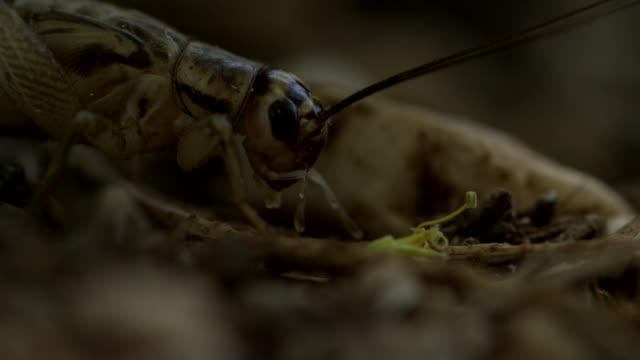 close up one cricket joins a second cricket. - wilderness stock videos & royalty-free footage