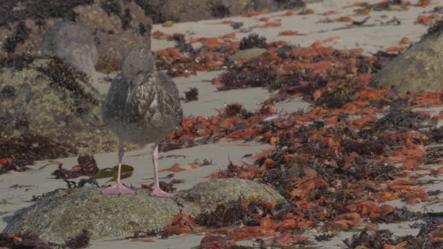 Close Up: Orange Crabs Covering Rocky Shore, Seagulls Picking And Eating