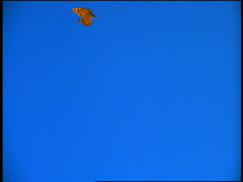 close up orange monarch butterfly flying with blue background / chroma key - butterfly insect stock videos & royalty-free footage