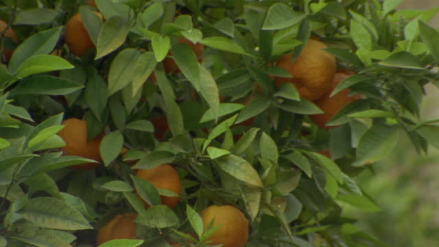 close up orange tree at generalife gardens/ alhambra, spain - grounds stock videos and b-roll footage