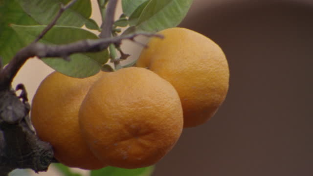 close up oranges on tree at generalife gardens/ alhambra, spain - grounds stock videos and b-roll footage