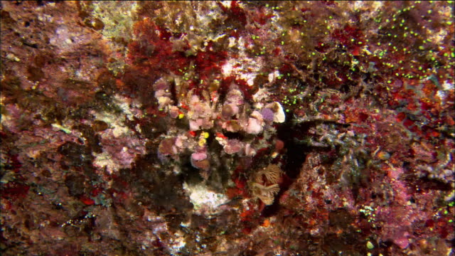 close up overhead shot of camouflaged spider crab crawling on soft coral / great barrier reef / australia - disguise stock videos & royalty-free footage