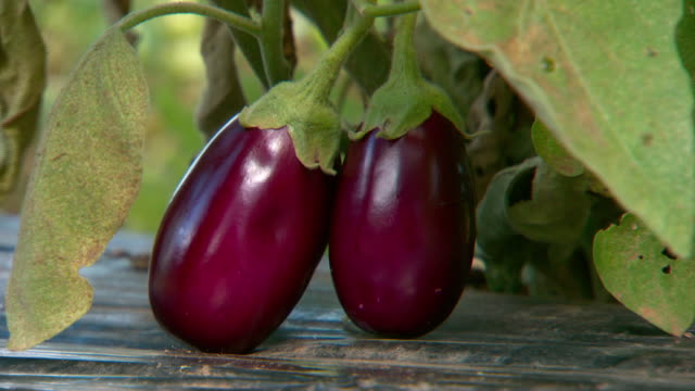 close up pair of purple eggplant aka aubergines hang on plant - pair stock videos & royalty-free footage