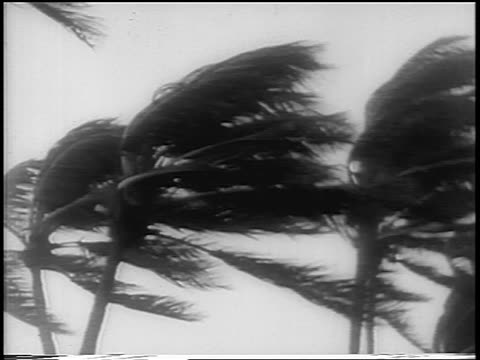 b/w 1960 close up palm trees blowing in wind during hurricane donna / florida / newsreel - gale stock videos and b-roll footage