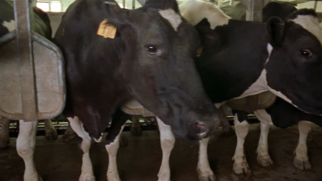 close up pan across faces of cows with tagged ears lined up in stalls / manchester, michigan - cattle stock videos & royalty-free footage