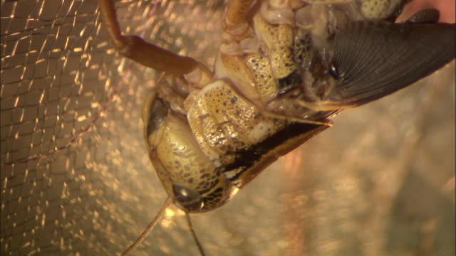 close up - pan along upside down locust from head to end of body / australia - animal abdomen stock videos and b-roll footage