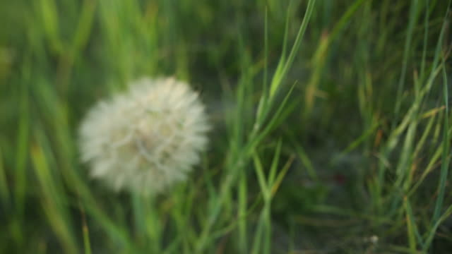 Close up pan down to dandelion with pull focus