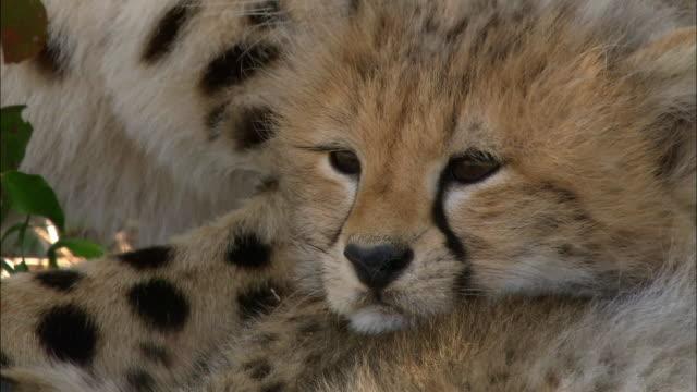 close up pan mother cheetah grooming cub / masai mara, kenya - groom stock videos and b-roll footage