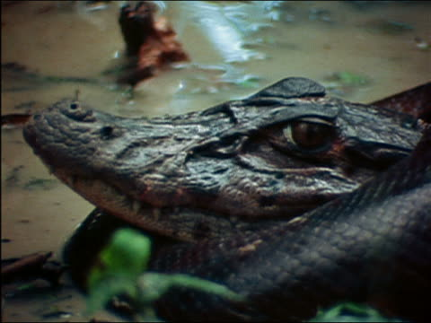 close up pan out from left to right of caiman being strangled by anaconda in shallow muddy river / amazon - 殺す点の映像素材/bロール