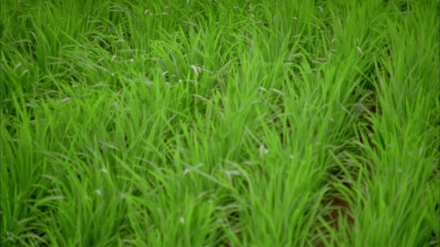 close up pan rice plants in paddy blowing in the wind / hagi, yamaguchi prefecture, japan - anno 2002 video stock e b–roll