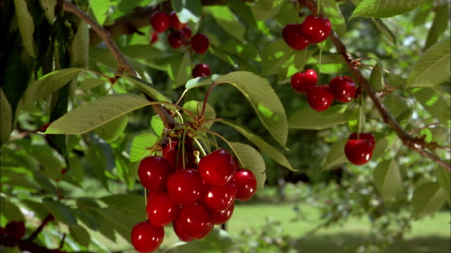 close up pan ripe cherries hanging on tree / normandy, france - cherry stock videos & royalty-free footage