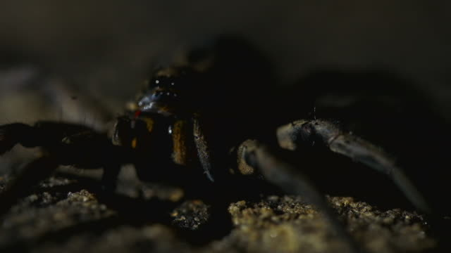 close up pan shot of arachnid in  enclosure - animal abdomen stock videos and b-roll footage