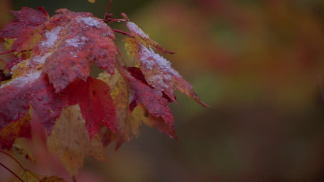 close up pan snow falling on red and orange colored tree leaves / new england - branch stock videos & royalty-free footage
