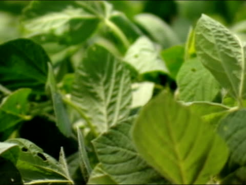 close up pan soybean plants/ brazil - soybean stock videos and b-roll footage