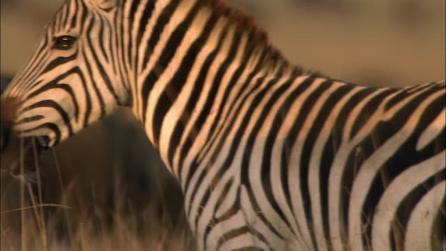 close up pan striped hide of zebra to profile of zebra chewing / sunset / masai mara, kenya - däggdjur bildbanksvideor och videomaterial från bakom kulisserna