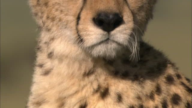 close up pan up from spotted fur to cheetah looking at cam / masai mara, kenya - animal hair stock-videos und b-roll-filmmaterial