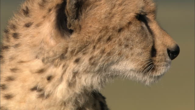 close up pan up from spotted fur to profile of cheetah's face / turning to look at cam / masai mara, kenya - animal eye stock videos & royalty-free footage