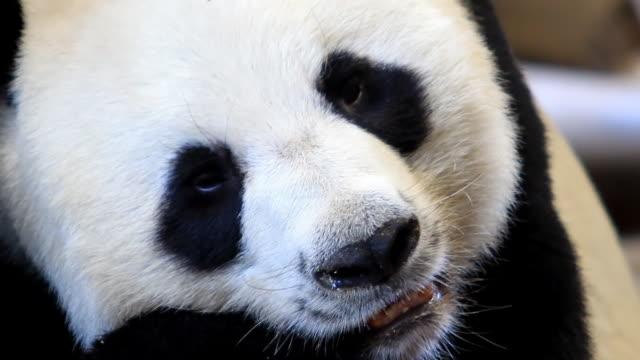 vidéos et rushes de gros plan du panda - panda