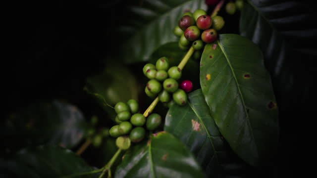 close up panning  green beans of arabica coffee growing at high attitude mountain  1400-1500 m from the sea level - harvesting stock videos & royalty-free footage