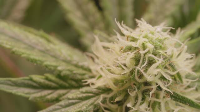 close up panning marijuana indoor farm , hemp (cannabis) bud - blooming flowers. - cannabis sativa stock videos and b-roll footage