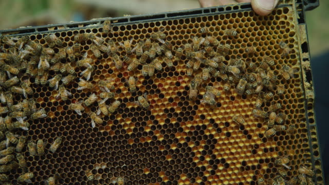 vídeos de stock, filmes e b-roll de close up panning shot of bees crawling on beehive frame / spring city, utah, united states - grupo mediano de animales
