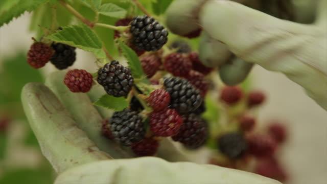 vídeos de stock, filmes e b-roll de close up panning shot of hand picking raspberries from branch / cedar hills, utah, united states - unknown gender