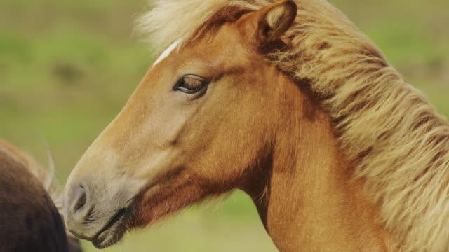 Close up panning shot of profile of Icelandic horse / Rangarvallasysla, Iceland