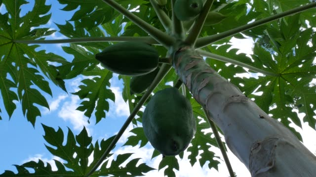 vídeos de stock e filmes b-roll de close up papaya tree and bunch of fruits. green papaya fruit on the tree in the garden, thailand - árvore tropical